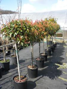 Photinia Red Robin drevesce