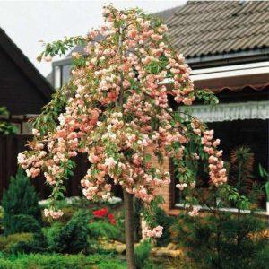 Prunus Kikushidare