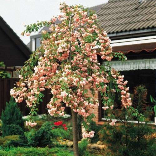 Prunus serr. Shidare Zakura˝-povešava japonska češnja