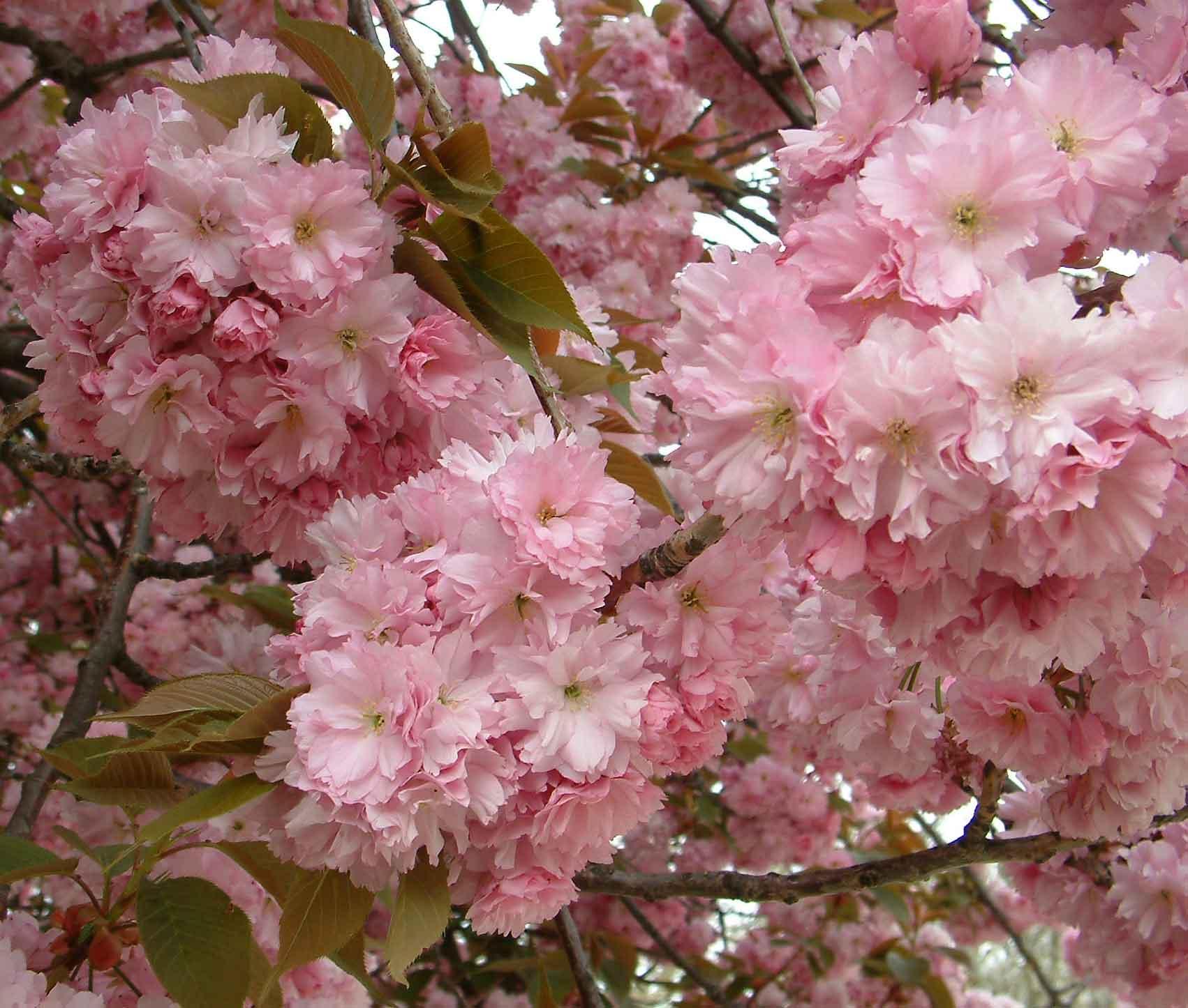 Prunus serrulata Kanzan– japonska češnja