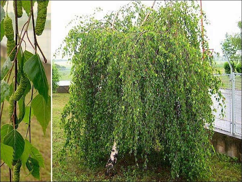 Betula pendula ˝ Youngii ˝ - povešava breza