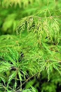 acer viridis
