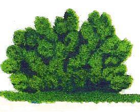 grmičasta oblika