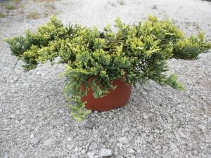 juniperus hor. golden carpet