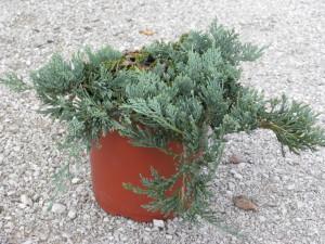 juniperus hor. wiltoni