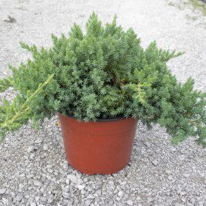 juniperus procumbens