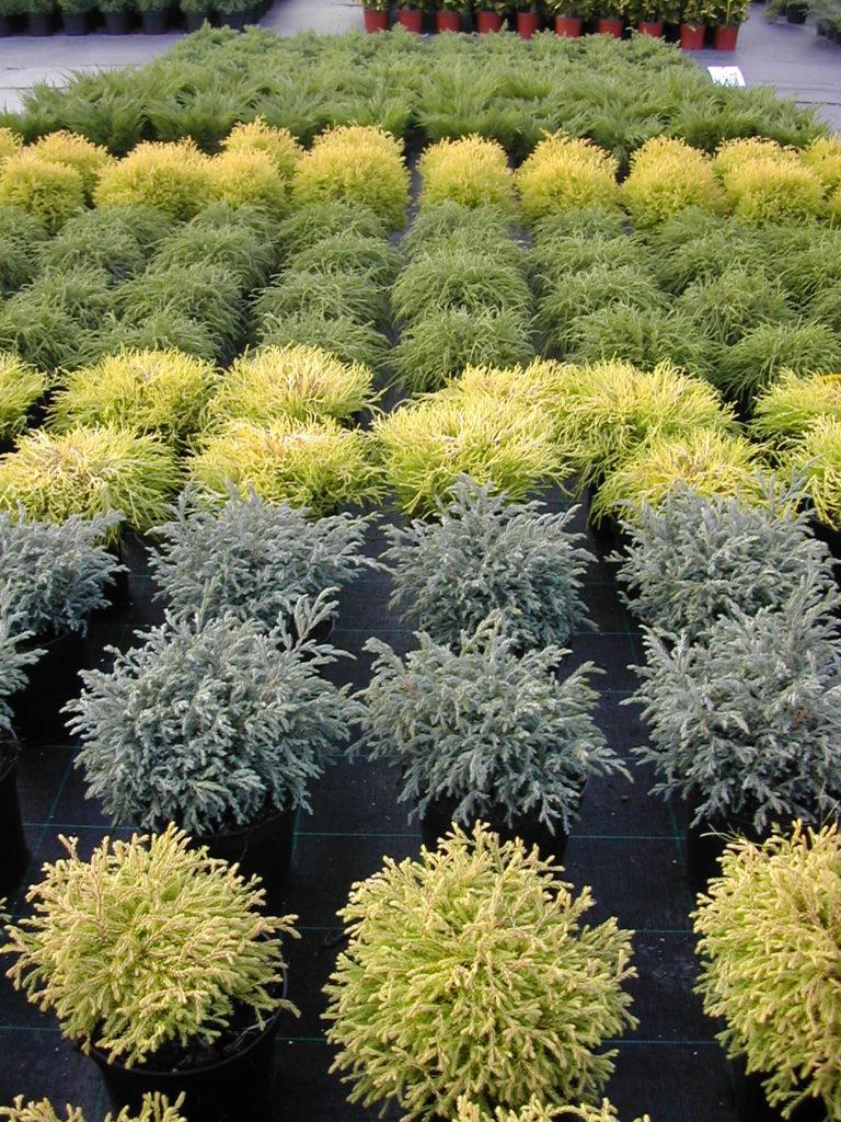 okrogli pritlikavi iglavci juniperus