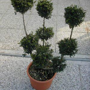 ilex crenata convexa bonsai