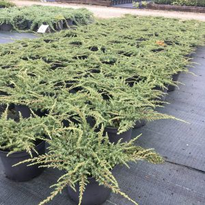 juniperus hor. green carpet