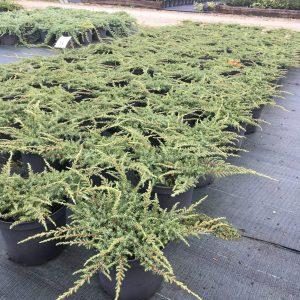 juniperus hor. green carpet