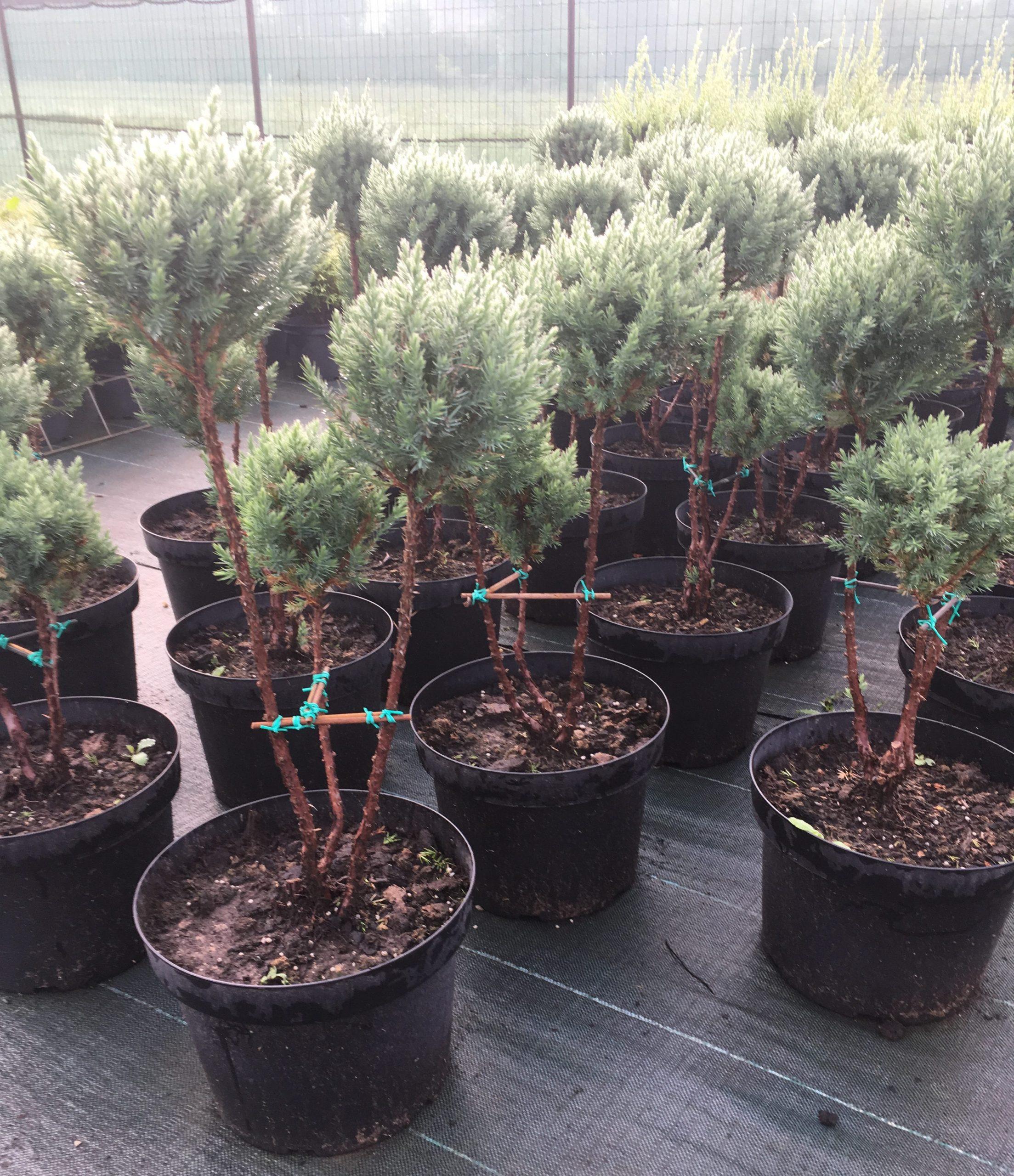 juniperus stricta po pon