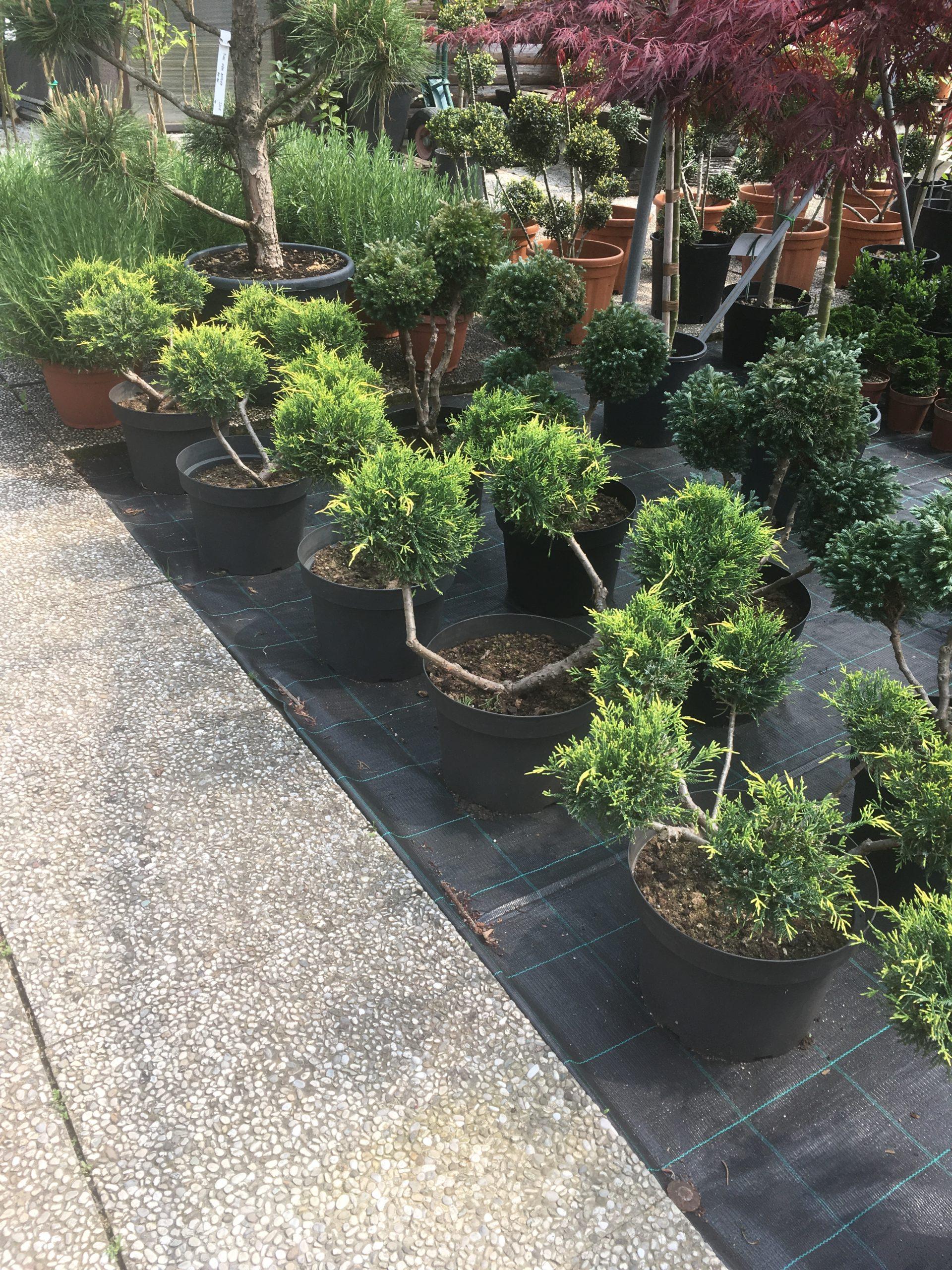 juniperus old gold bonsai